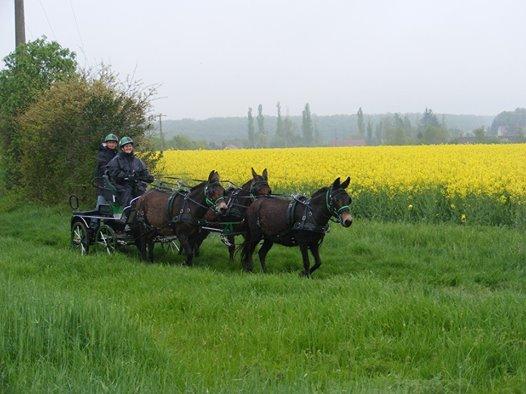 Mon projet d'attelage à 4 mules pas à pas ... - Page 3 11167610