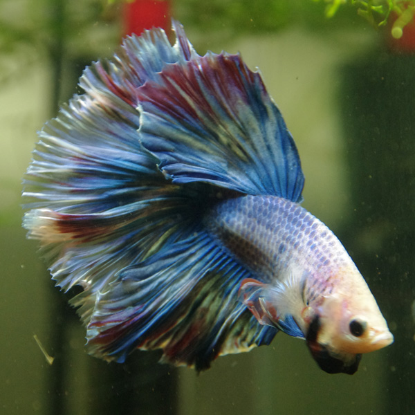 RIP Capitaine Bébé (HM Marble Turquoise) 0110