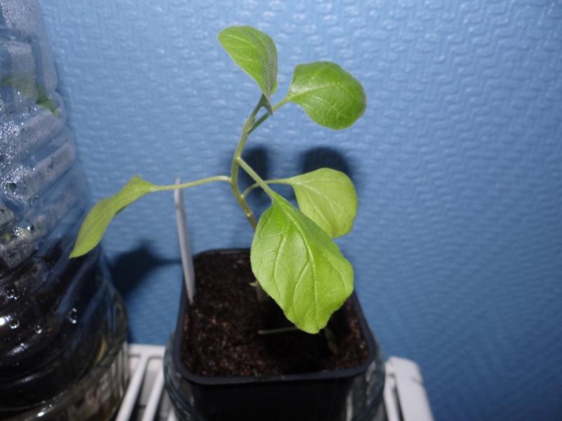 greffage de plants de légumes Dsc02612