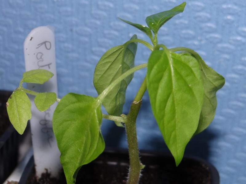 greffage de plants de légumes Dsc02614