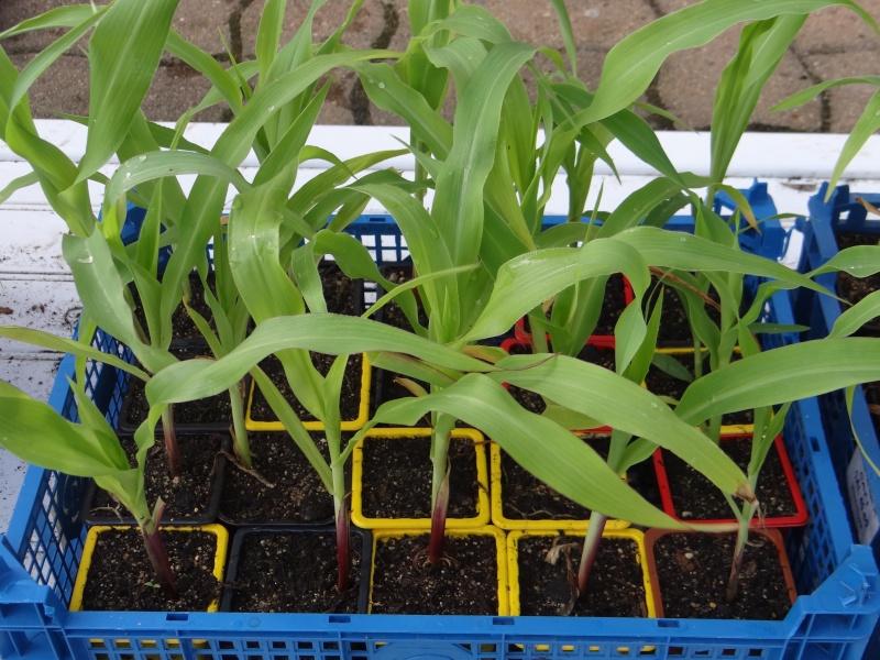 Le maïs Dsc02740