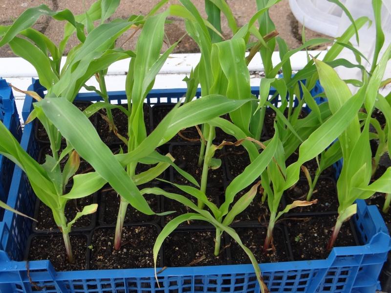 Le maïs Dsc02741