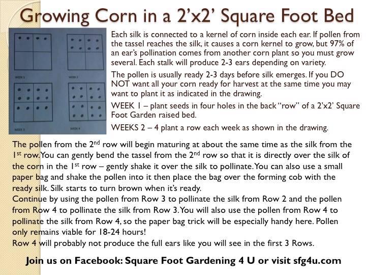 Corn Growing Corn10