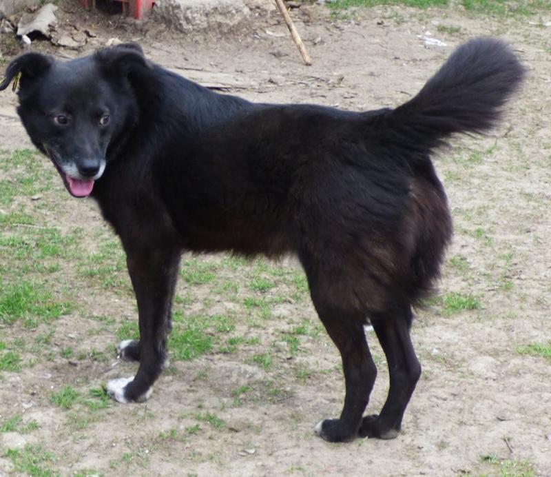 BULI (ex TZUMPI), mâle croisé labrador né en 2010 - en FA à Pascani - Adopté PAR SYBILLE (depart67) 11173610