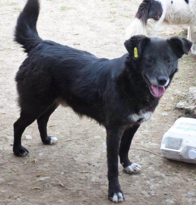 BULI (ex TZUMPI), mâle croisé labrador né en 2010 - en FA à Pascani - Adopté PAR SYBILLE (depart67) 11198712