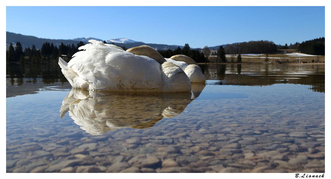 Le lac des cygnes Cygnes10