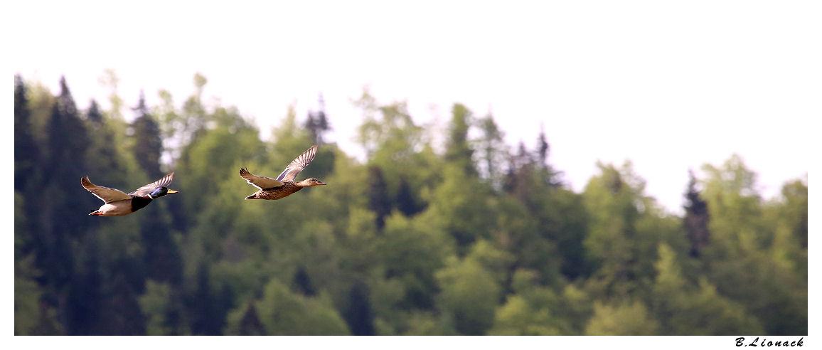 Flying ducks (+1) Duck0110