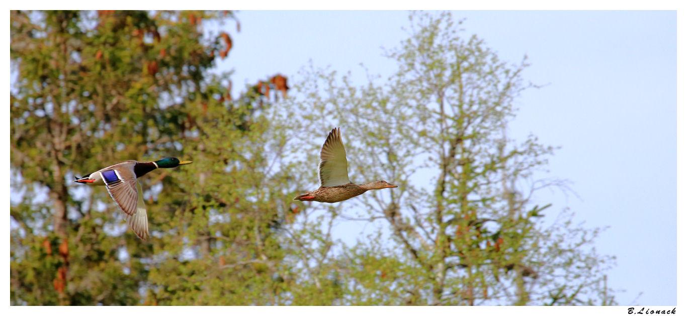 Flying ducks (+1) Img_5710