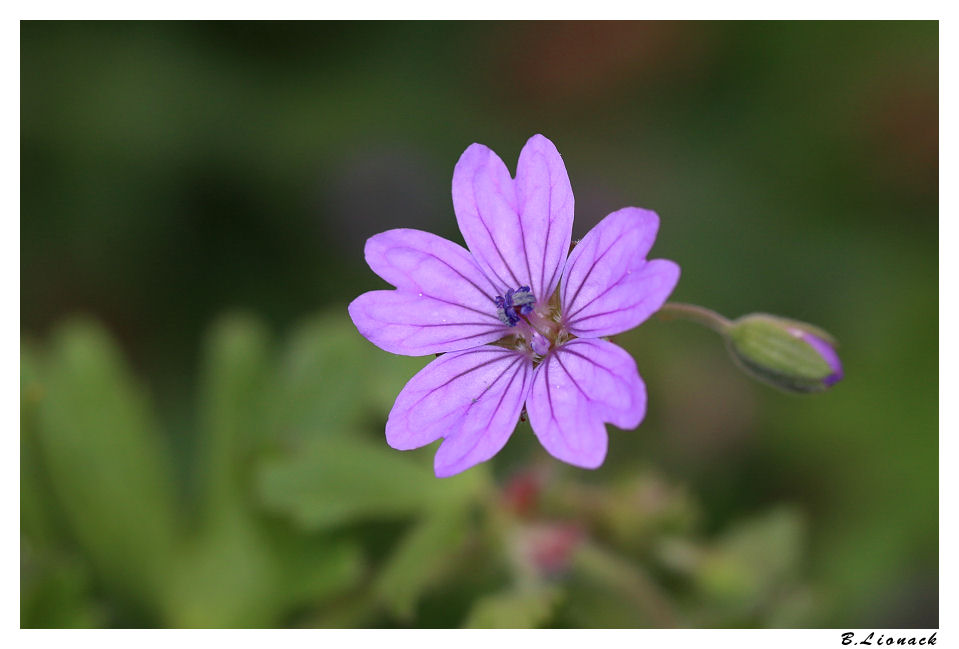 Herbe à robert (Geranium robertianum) Robert10