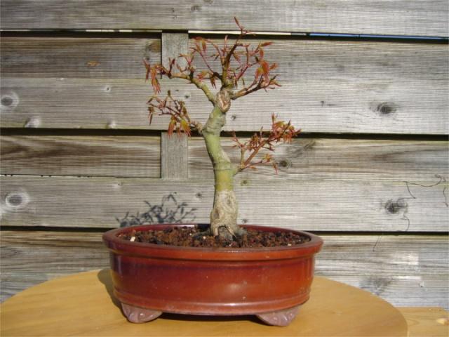 sergio - Acer palmatum - Page 2 Palmat10