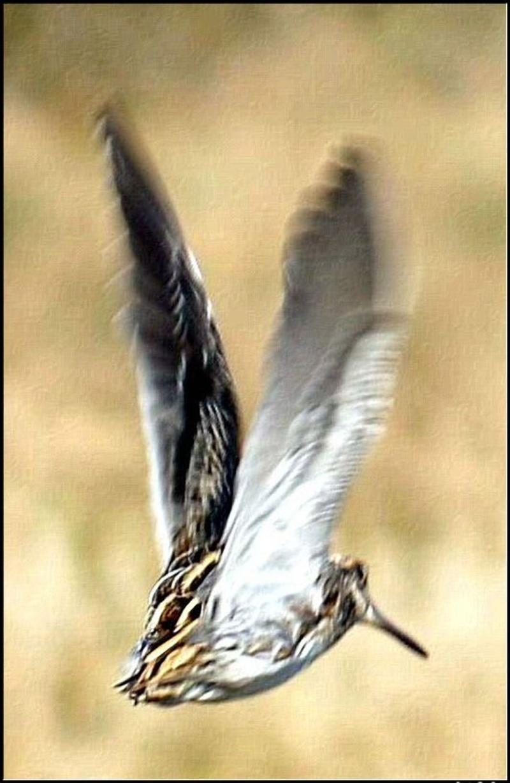 Les oiselles du marais - Page 9 04bee510