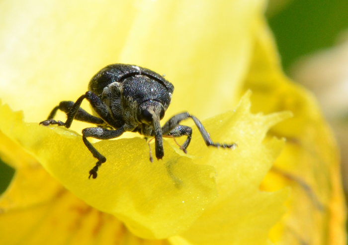 Charançon de l'iris des marais - Mononychus pseudacori Dsc_9310
