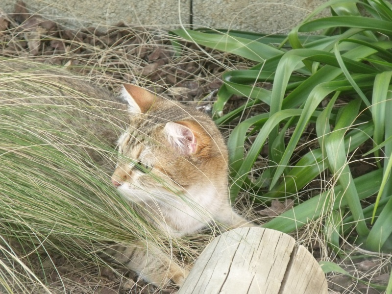 JUNO - tigré clair - (Jedy est adopté) - 05/2014  Dscf9111