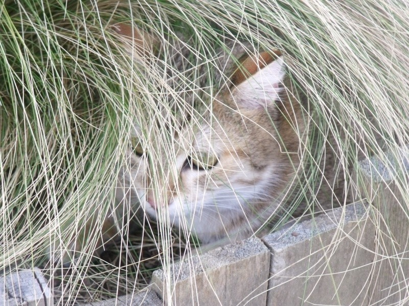 JUNO - tigré clair - (Jedy est adopté) - 05/2014  Dscf9112
