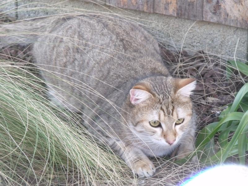 JUNO - tigré clair - (Jedy est adopté) - 05/2014  Dscf9113