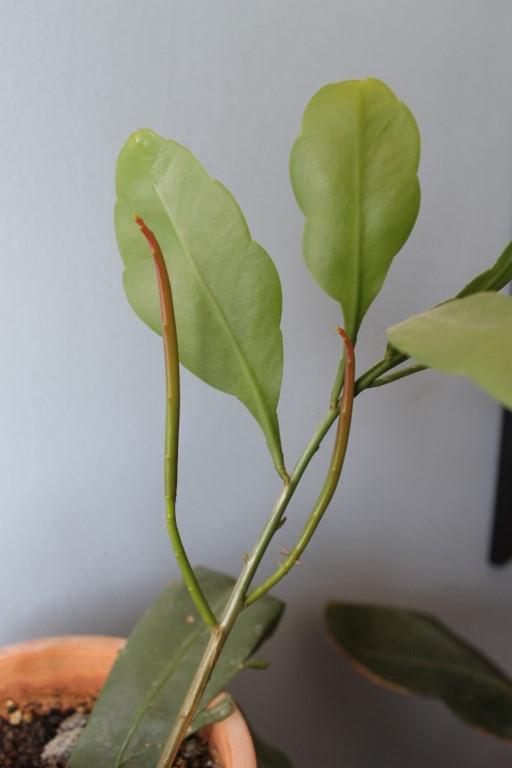 Mon Epiphyllum oxypetalum,....suite! - Page 2 Img_0910
