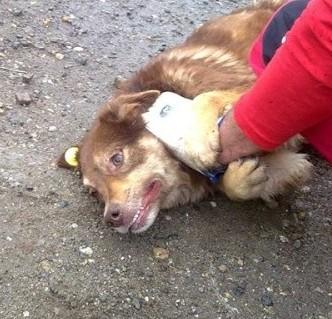 LAORA, femelle rescapée d'Oltenita du 30 avril 2015, née fin 2013, marron roux - marrainée par lilirez2 - SOS-R-SC 30_avr15