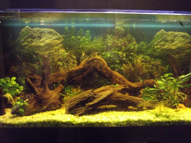 bac de reproduction ancistrus et crevettes et guppy Dscf5011