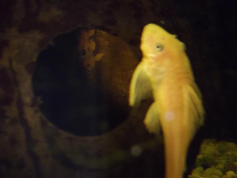 bac de reproduction ancistrus et crevettes et guppy Dscf5013