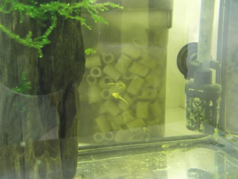 bac de reproduction ancistrus et crevettes et guppy Dscf5213