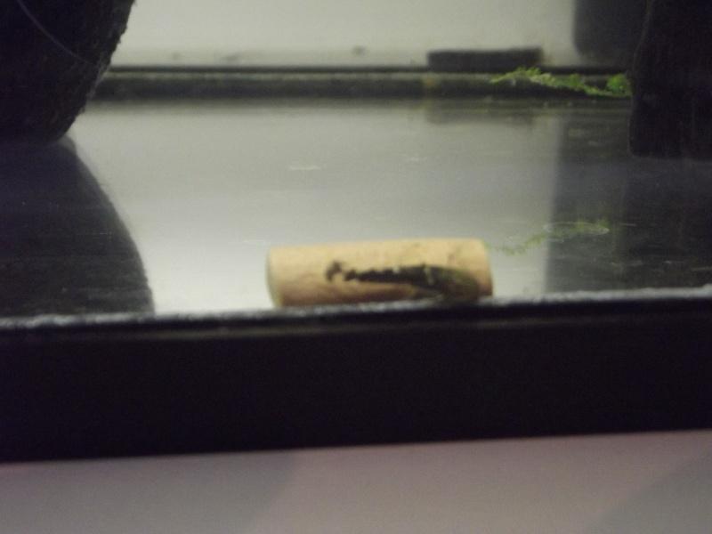 bac de reproduction ancistrus et crevettes et guppy Dscf5215