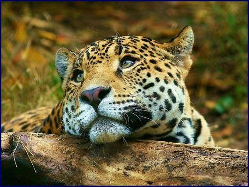 Puzzle #34 - Le léopard Leopar10