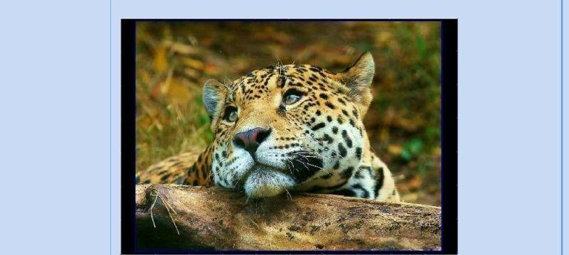 Puzzle #34 - Le léopard Puzzle11