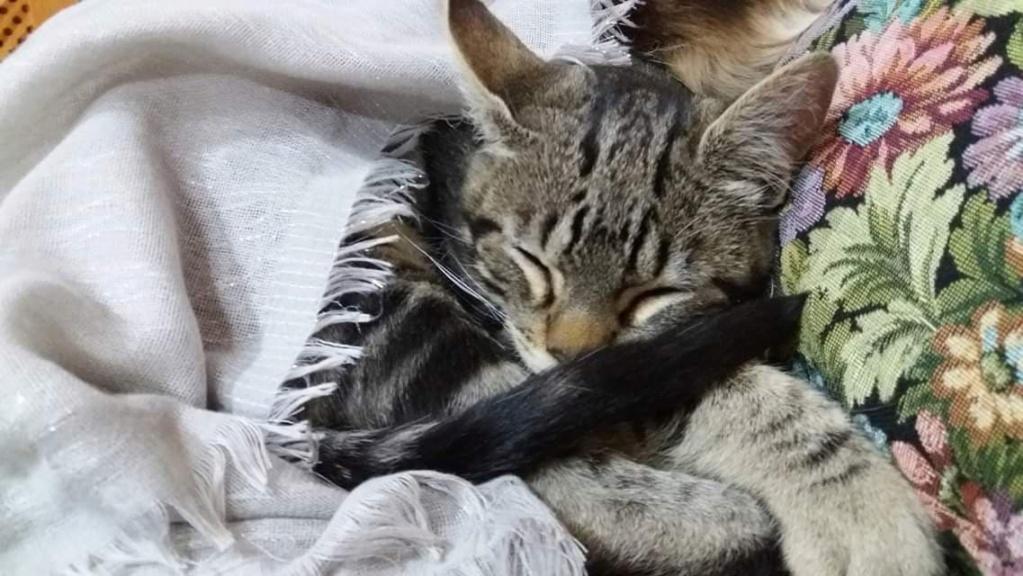OCTUBRE - TIGRE BRUN TABBY - EN FA DANS LE 92 50326210