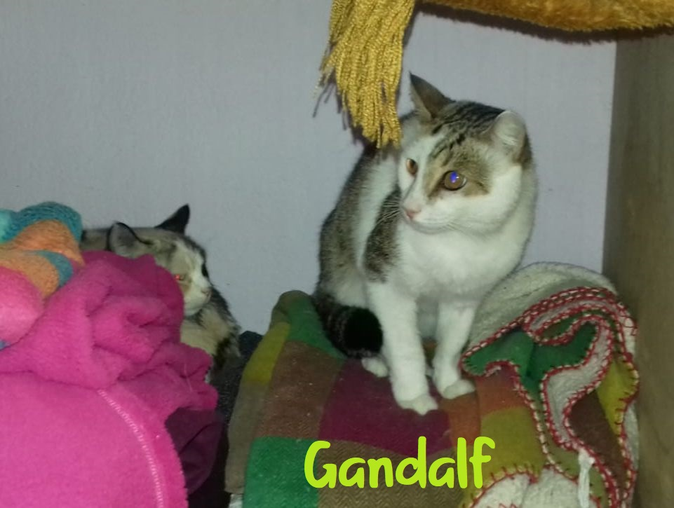 GANDALF - BLANC ET TIGRE - SOLEDAD G211