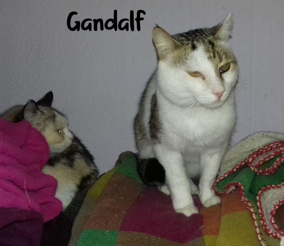GANDALF - BLANC ET TIGRE - SOLEDAD G311