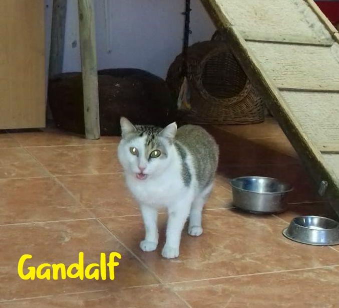 GANDALF - BLANC ET TIGRE - SOLEDAD G710