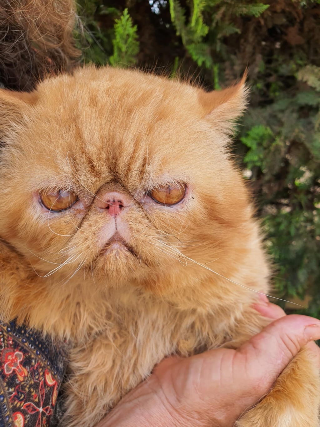 ISIDORO - XEXOTIC SHORTHAIR - ROUX - (MAM) Whats686