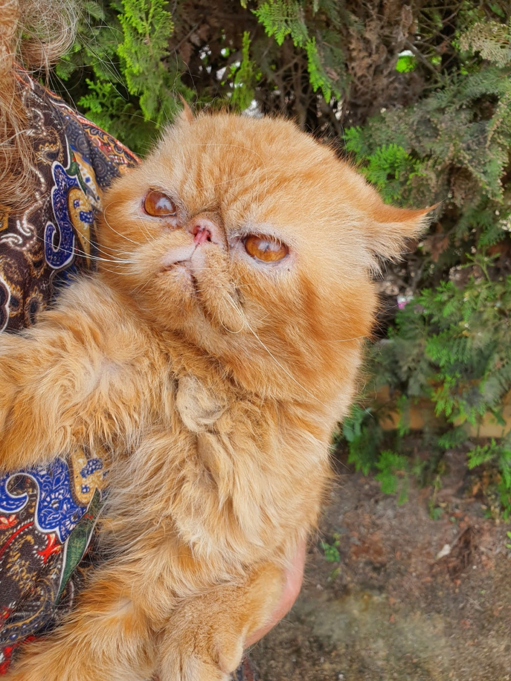 ISIDORO - XEXOTIC SHORTHAIR - ROUX - (MAM) Whats689