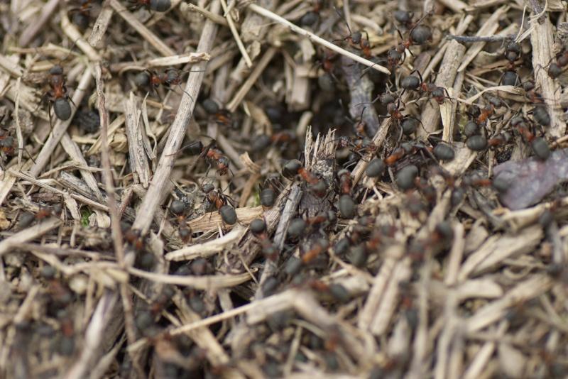 fourmilière sp coglais Formiz10