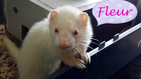 Fleur, femelle albinos 11139711