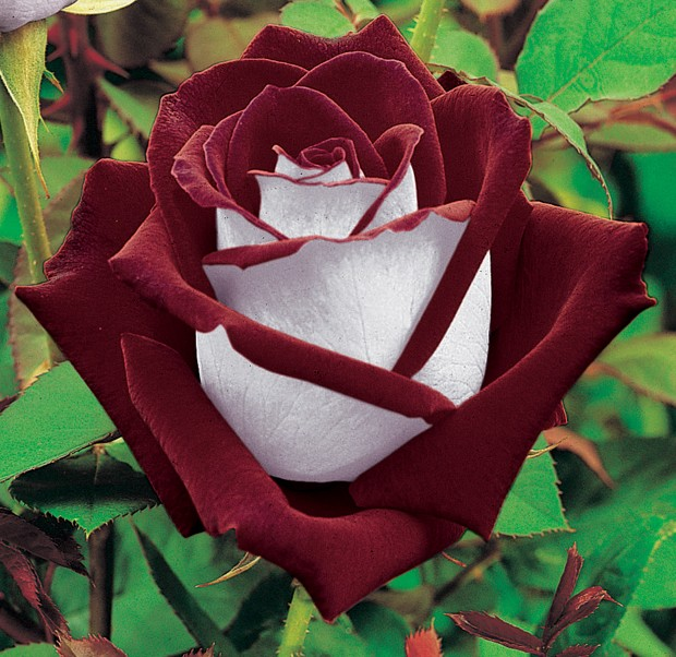 Jardiner avec la lune Rose10