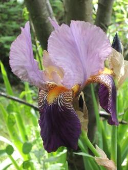 Iris  Iris210