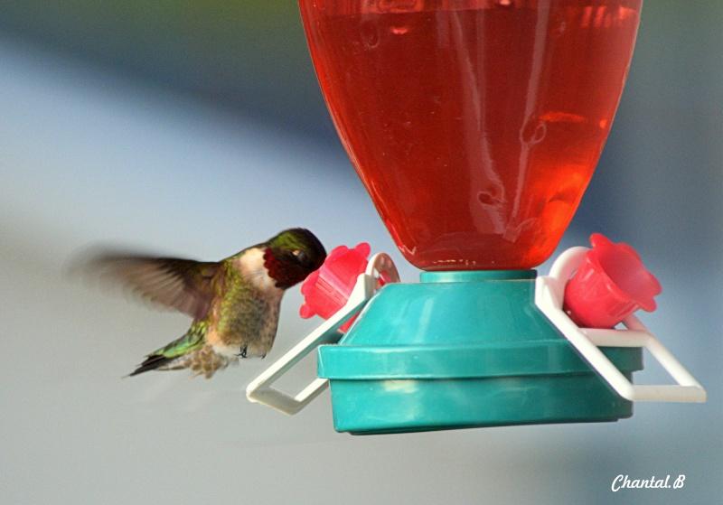 colibri male 312