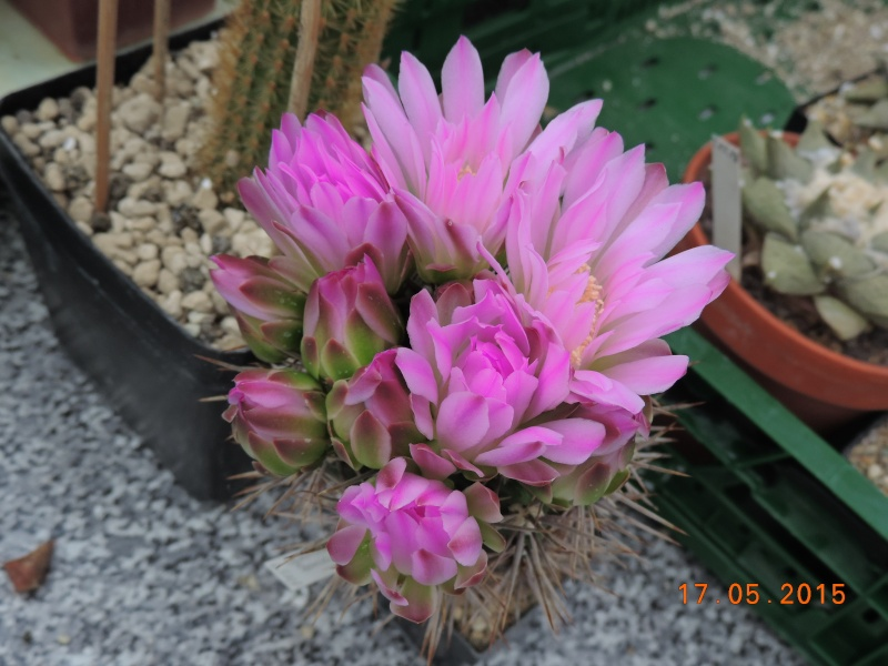 Cacti and Sukkulent in Köln, every day new flowers in the greenhouse Part 122 Bild_019