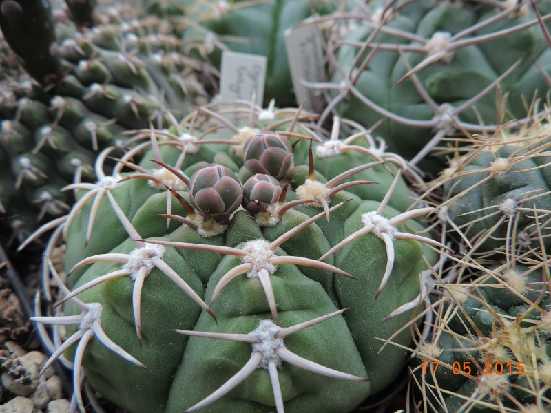 Cacti and Sukkulent in Köln, every day new flowers in the greenhouse Part 122 Bild_020