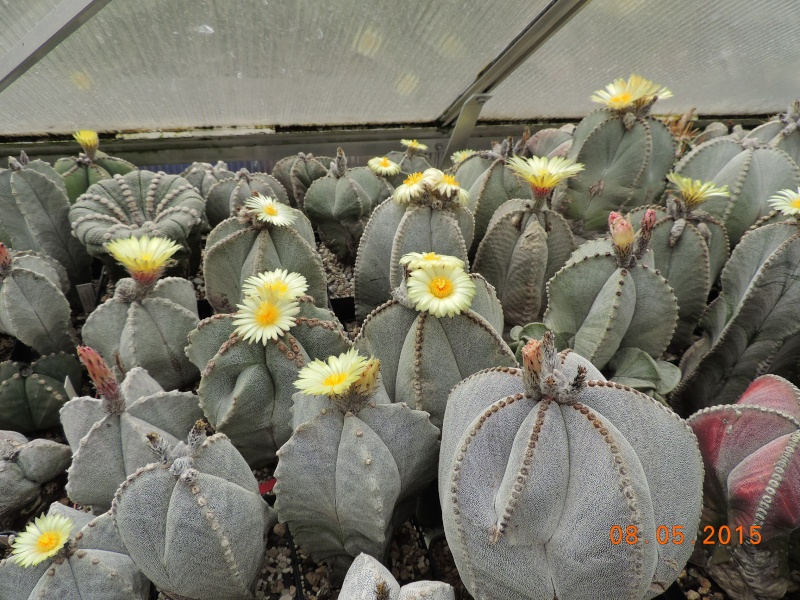 Cacti and Sukkulent in Köln, every day new flowers in the greenhouse Part 122 Bild_110