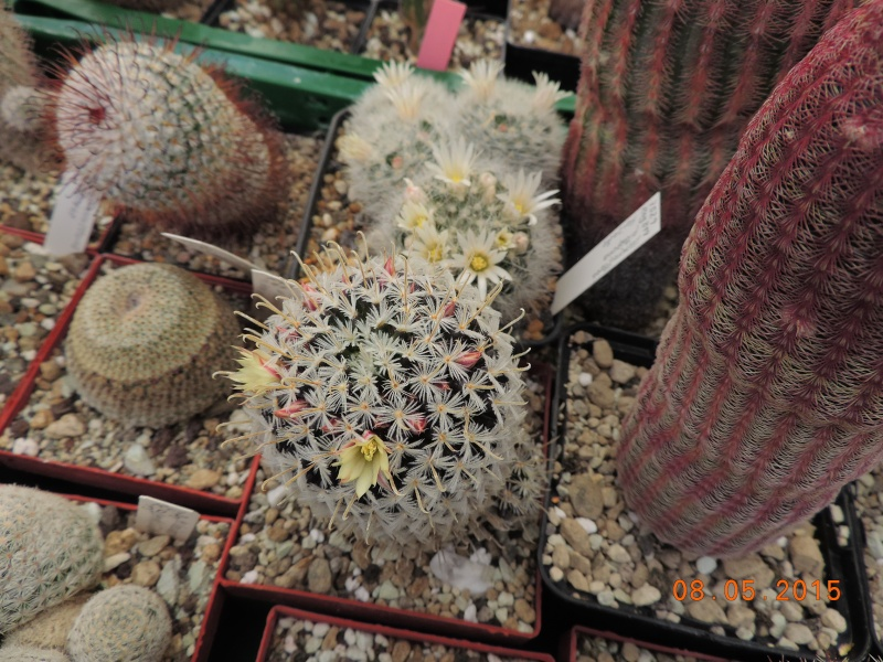 Cacti and Sukkulent in Köln, every day new flowers in the greenhouse Part 122 Bild_115