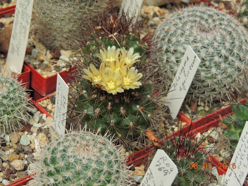 Cacti and Sukkulent in Köln, every day new flowers in the greenhouse Part 122 Bild_124