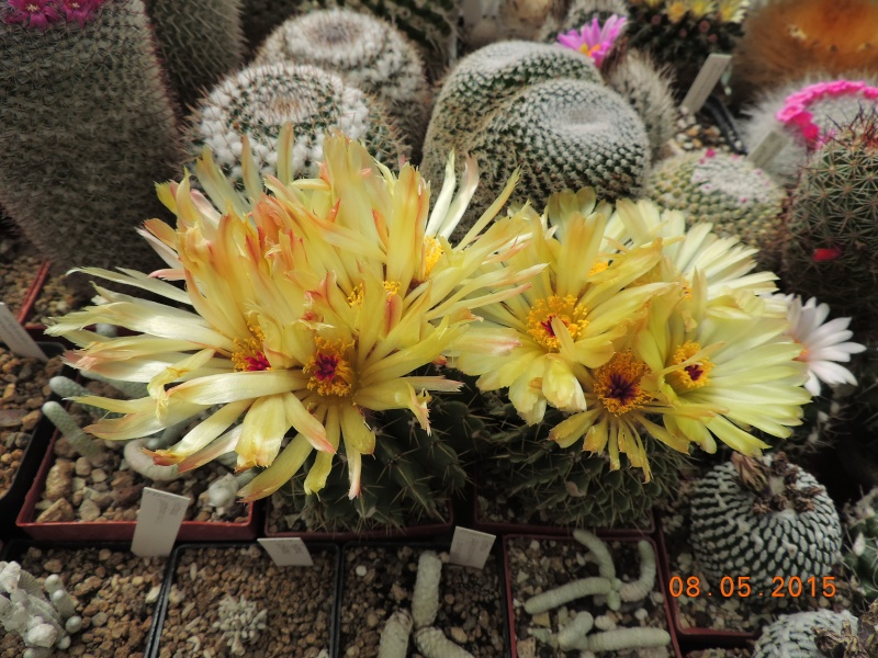 Cacti and Sukkulent in Köln, every day new flowers in the greenhouse Part 122 Bild_125