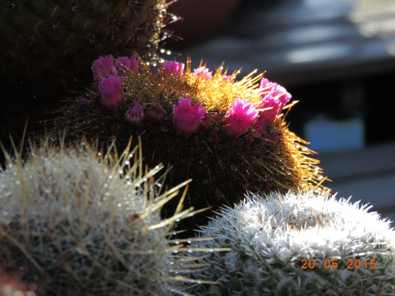 Cacti and Sukkulent in Köln, every day new flowers in the greenhouse Part 122 Bild_144