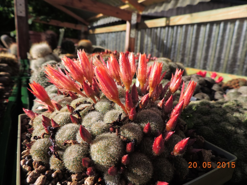 Cacti and Sukkulent in Köln, every day new flowers in the greenhouse Part 122 Bild_146