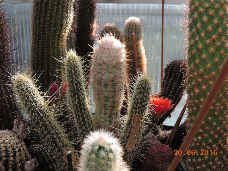 Cacti and Sukkulent in Köln, every day new flowers in the greenhouse Part 122 Bild_147