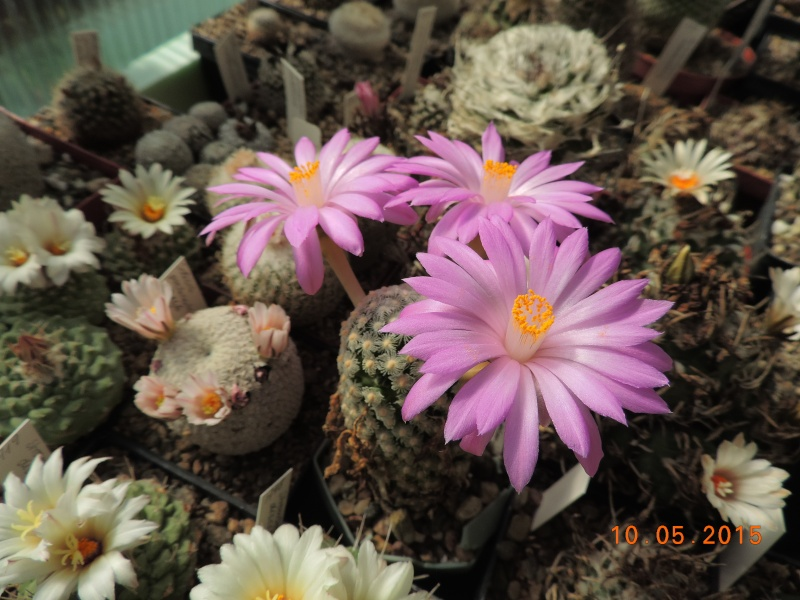Cacti and Sukkulent in Köln, every day new flowers in the greenhouse Part 123 Bild_161