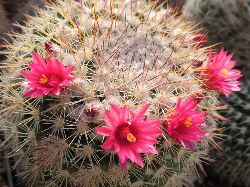 Cacti and Sukkulent in Köln, every day new flowers in the greenhouse Part 123 Bild_164