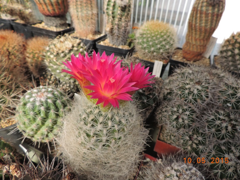 Cacti and Sukkulent in Köln, every day new flowers in the greenhouse Part 123 Bild_168